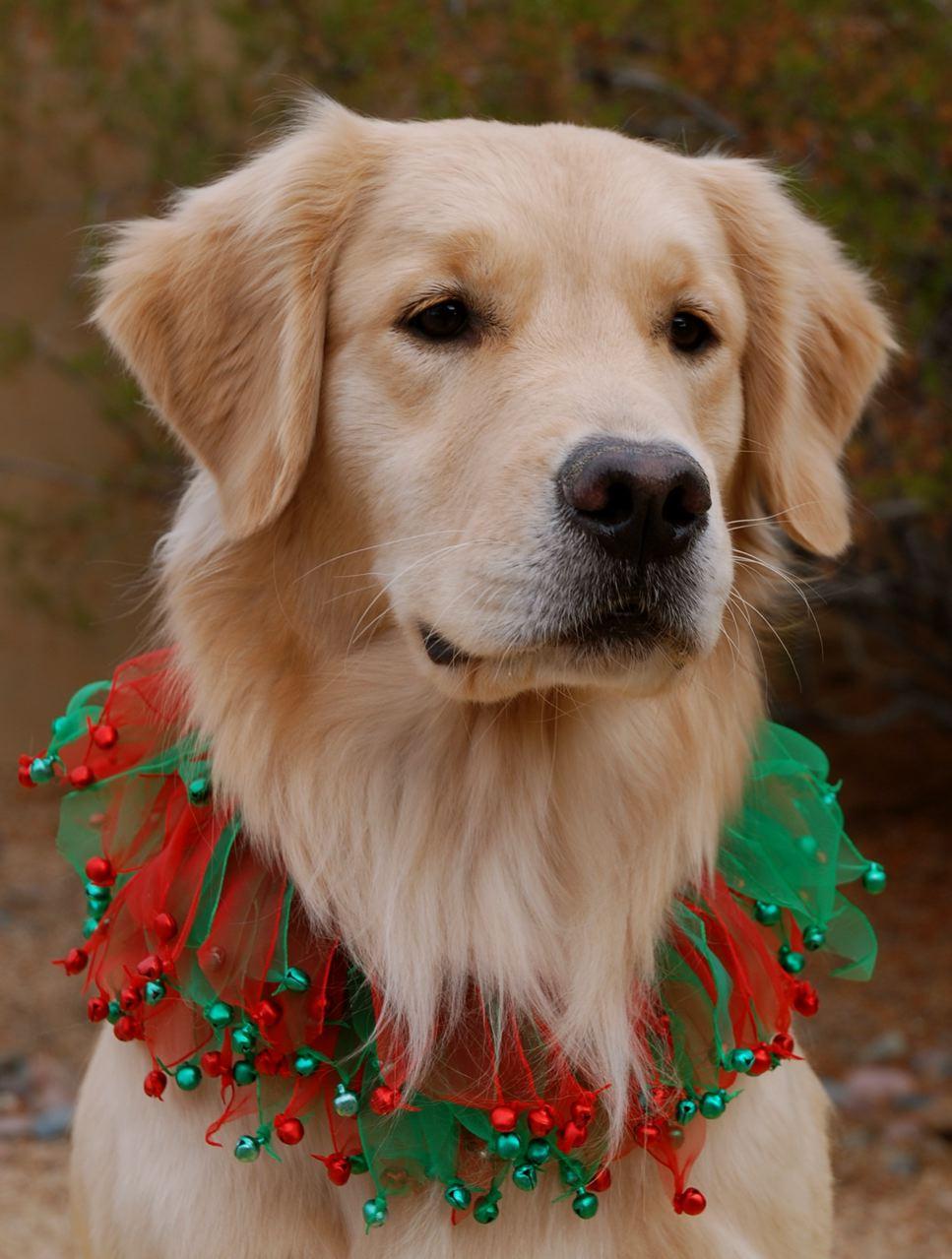 Golden retriever puppy christmas wallpaper